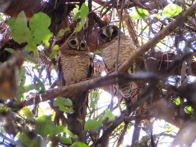 Ngepi Wood Owl