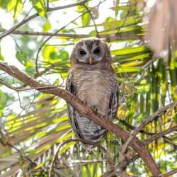African Wood Owl, Bosuil (JB Burger)