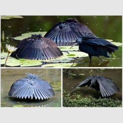 Black Egrets Fishing 2.jpg