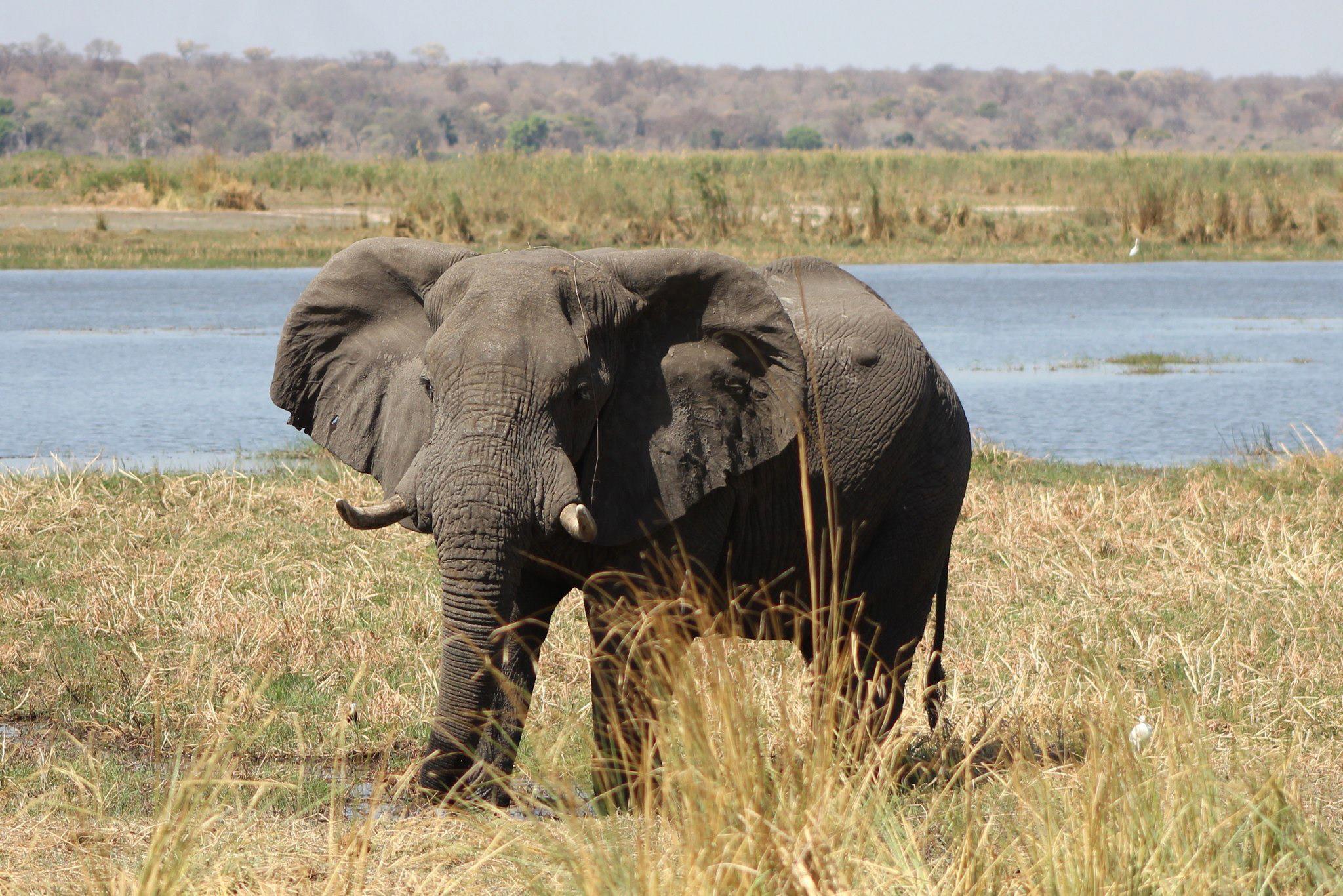 Elephant (JB Burger)