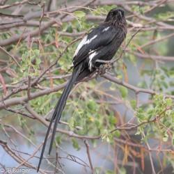 Magpie Shrike (JB Burger)